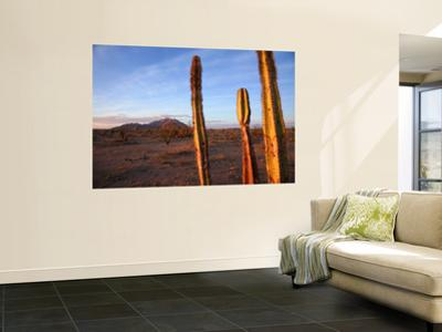 Golden Light on Organ Pipe Cactus, North of Puerto Penasco in Gran Desierto De Altar