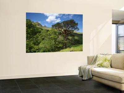 Scots Pines Below Ladhar Bheinn Ridge, on the Knoydart Peninsula in the Northwest Highlands