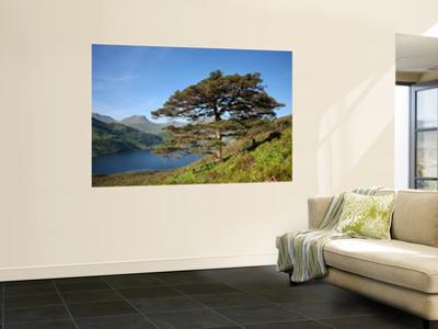 Scots Pines on Shore of Loch Hourn, Knoydart Peninsula