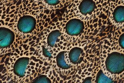 Feather Design of the Malay Peacock Pheasant-Darrell Gulin-Photographic Print