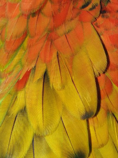Feather Pattern on Macaw-Adam Jones-Photographic Print
