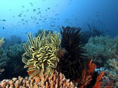 Feather Star, Komodo, Indonesia-Mark Webster-Photographic Print