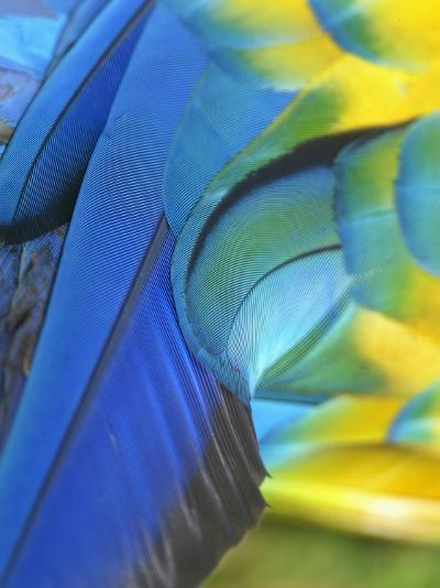Feathers of a Blue and Gold Macaw, South America-Arthur Morris-Photographic Print