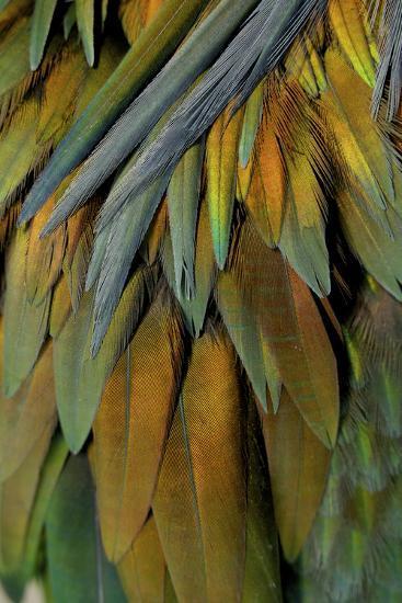 Feathers of a Nicobar Pigeon, Caloenas Nicobarica-Timothy Laman-Photographic Print