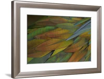 Feathers of a Nicobar Pigeon, Caloenas Nicobarica-Timothy Laman-Framed Photographic Print
