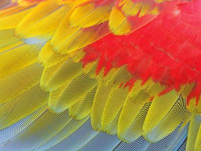 Feathers of a Scarlet Macaw-Arthur Morris-Photographic Print