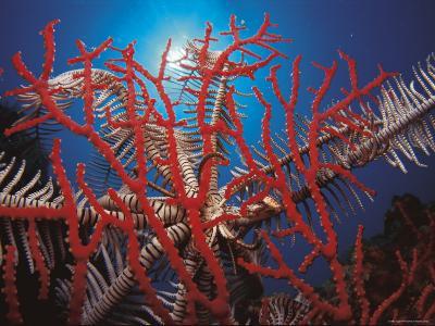 Featherstar, on Fan Coral Indo Pacific-Jurgen Freund-Photographic Print