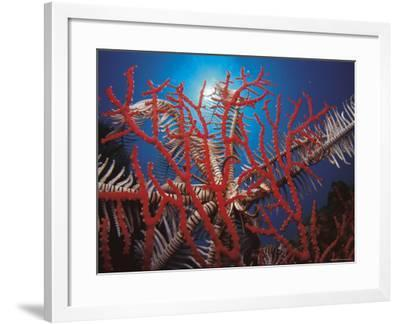 Featherstar, on Fan Coral Indo Pacific-Jurgen Freund-Framed Photographic Print