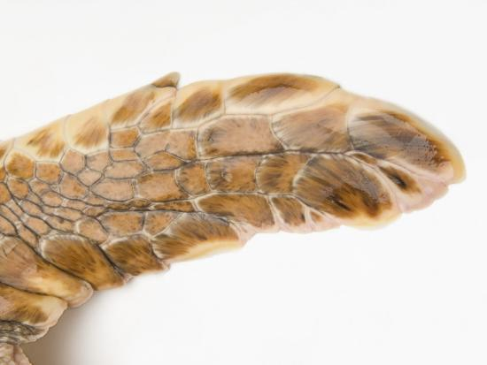 Federally Endangered Atlantic Loggerhead Turtle at Riverbanks Zoo-Joel Sartore-Photographic Print