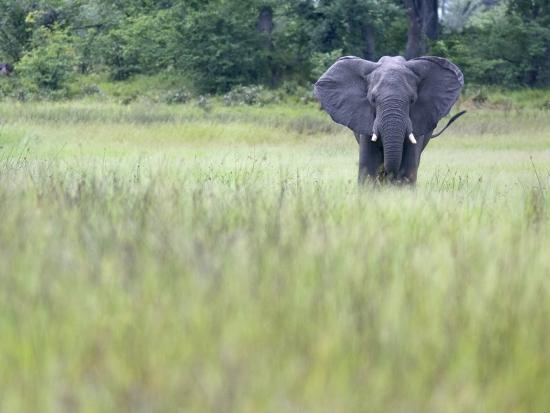 Feeding Elephant in the Grass with Ears Extended-Karine Aigner-Photographic Print