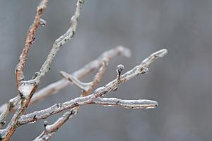 Glistening Branches II by Felicity Bradley