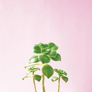 Succulent Simplicity IX on Pink by Felicity Bradley