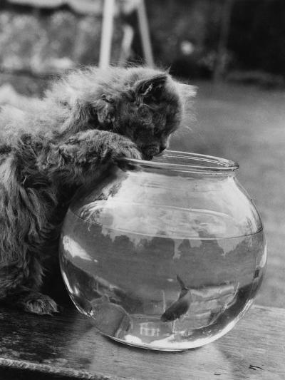 Feline Fishing-William Vanderson-Photographic Print