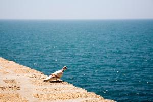 Dove on Wall by Sea by Felipe Rodriguez