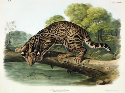 https://imgc.artprintimages.com/img/print/felis-pardalis-ocelot-or-leopard-cat-plate-86-from-quadrupeds-of-north-america-engraved-by_u-l-pldgob0.jpg?p=0