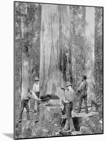 Felling a Blue-Gum Tree in Huon Forest, Tasmania, c.1900, from 'Under the Southern Cross -?-Australian Photographer-Mounted Photographic Print