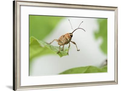 Female Acorn Weevil (Curculio Glandium) Niedersachsische Elbtalaue Biosphere Reserve-Solvin Zankl-Framed Photographic Print