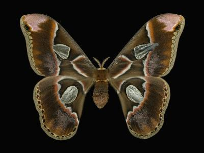 Female Adult Stage of the Moth (Rothschildia Lebeau) This Moth Has a Wingspan of 20-23 Cm-Jeffrey Miller-Photographic Print