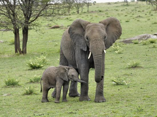 Female African Elephant with baby, Serengeti National Park, Tanzania-Adam Jones-Photographic Print