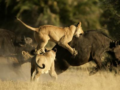 Female African lions pounce on an African buffalo-Beverly Joubert-Photographic Print