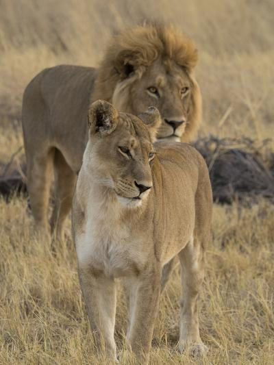 Female and a Male Lions (Panthera Leo) Standing in a Forest, Okavango Delta, Ngamiland, Botswana--Photographic Print