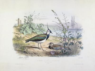 Female and Male Lapwing-Edouard Travies-Giclee Print