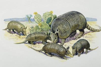 Female and Pups of Nine-Banded Armadillo (Dasypus Novemcinctus), Dasypodidae--Giclee Print