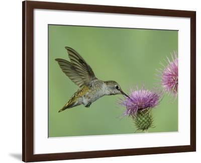 Female Anna's Hummingbird at Thistle, Paradise, Chiricahua Mountains, Arizona, USA-Rolf Nussbaumer-Framed Photographic Print