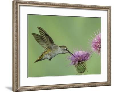 Female Anna's Hummingbird at Thistle, Paradise, Chiricahua Mountains, Arizona, USA-Rolf Nussbaumer-Framed Photographic Print
