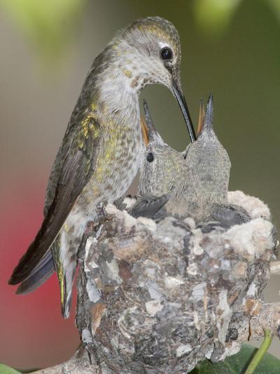 Female Anna's Hummingbird (Calypte Anna) Feeding Her Chicks in their Tiny Nest, Irvine-Hal Beral-Photographic Print