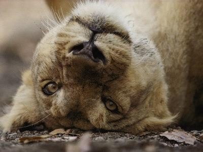 https://imgc.artprintimages.com/img/print/female-asian-lion-playfully-rolls-on-her-back_u-l-p3r1uv0.jpg?p=0