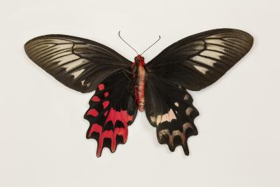 Female Batwing Butterfly, Top and Bottom Wing Comparison-Darrell Gulin-Photographic Print