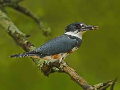 Female Belted Kingfisher with Prey in its Cavity (Ceryle Alcyon), Eastern USA-Adam Jones-Photographic Print