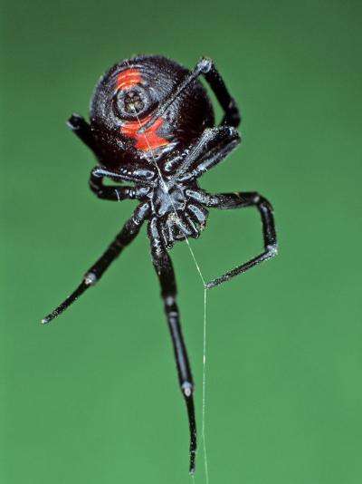 Female Black Widow Spider, Latrodectus Mactans-Bill Beatty-Photographic Print