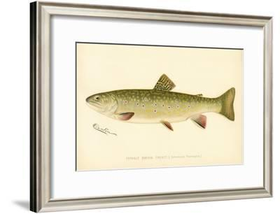 Female Brook Trout--Framed Giclee Print