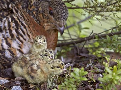 Female Capercaillie (Tetrao Urogallus) with Three Chicks, Kuhmo, Finland, June-Markus Varesvuo-Photographic Print
