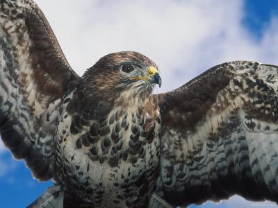 Female Common Buzzard with Wings Outstretched, Scotland-Niall Benvie-Photographic Print