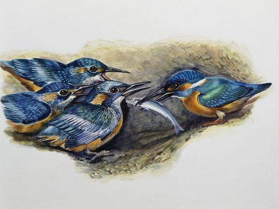 Female Common Kingfisher Feeding Her Young (Alcedo Atthis), Alcedinidae--Giclee Print
