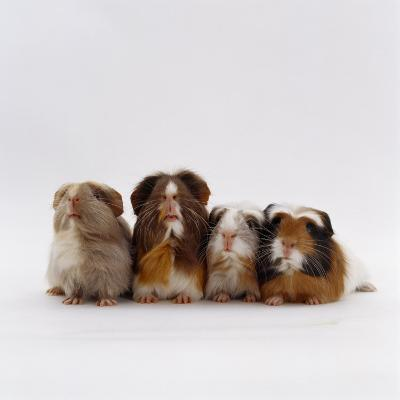 Female Crested Guinea Pig with Three Six-Week Babies, UK-Jane Burton-Photographic Print