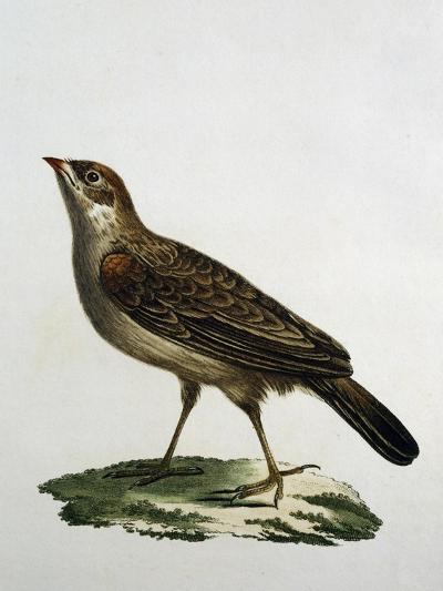 Female Cuckoo Roller--Giclee Print