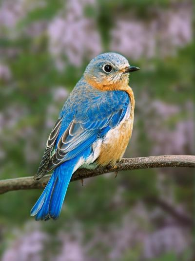 Female Eastern Bluebird-Adam Jones-Photographic Print