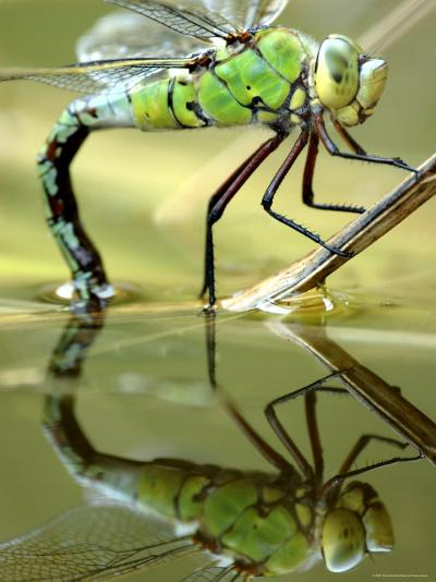 Female Emperor Dragonfly (Anax Imperator) Laying Eggs at the Edge of a Pond, Cornwall, UK-Ross Hoddinott-Photographic Print