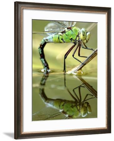 Female Emperor Dragonfly (Anax Imperator) Laying Eggs at the Edge of a Pond, Cornwall, UK-Ross Hoddinott-Framed Photographic Print
