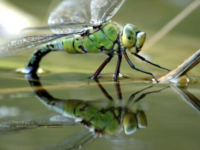Female Emperor Dragonfly Laying Eggs at the Edge of a Pond. Cornwall, UK-Ross Hoddinott-Photographic Print