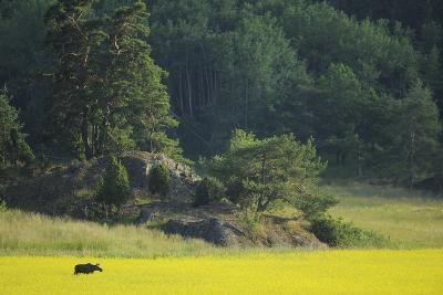 Female European Moose (Alces Alces) in Flowering Field, Elk, Morko, Sormland, Sweden, July 2009-Widstrand-Photographic Print