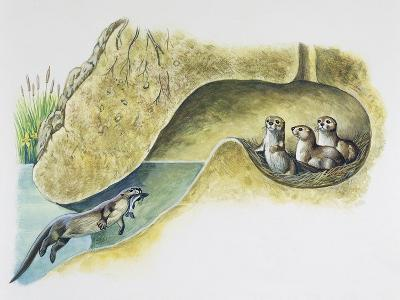 Female European Otter (Lutra Lutra), Mustelidae, Bringing Food to Her Pups in Holt--Giclee Print