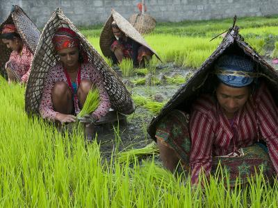 Female Farmers at Work in Rice Nursery, with Rain Protection, Annapurna Area, Pokhara, Nepal, Asia-Eitan Simanor-Photographic Print