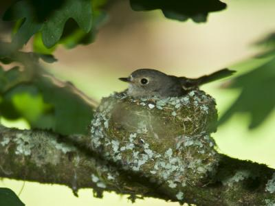 Female Flame Robin Nestled Tightly in Her Woven Nest in an Oak Tree-Jason Edwards-Photographic Print