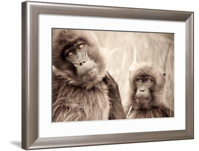 Female Gelada Baboons Stare into the Camera on the Guassa Plateau of Ethiopia-Robin Moore-Framed Photographic Print
