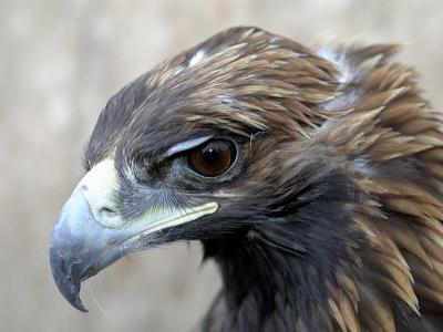 Female Golden Eagle, Golden Eagle Festival, Mongolia-Amos Nachoum-Photographic Print